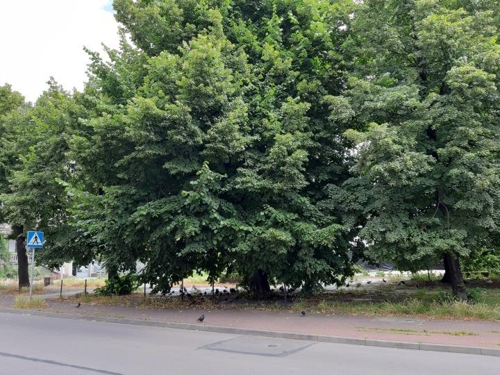 Zarośnięta Częstochowa – potrzebna przycinka drzew?